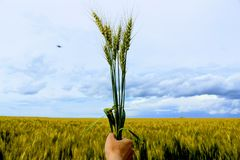 Wheat ears clenched in fist. Wheat ears clenched in fist against the background of the wheat field and the blue sky Royalty Free Stock Image