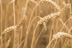 Wheat. Ears of wheat close up Stock Photography