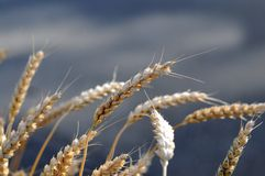Wheat ears close up Stock Images
