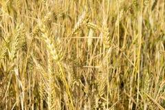 Wheat ears close-up in the sun. Immature wheat in the field and in the morning sun. Wheat in warm sunlight. Sun shine at wheat royalty free stock photography