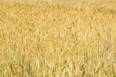 Wheat ears close-up in the sun. Immature wheat in the field and in the morning sun. Wheat in warm sunlight. Sun shine at wheat royalty free stock image
