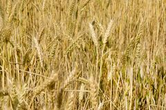 Wheat ears close-up in the sun. Immature wheat in the field and in the morning sun. Wheat in warm sunlight. Sun shine at wheat royalty free stock images