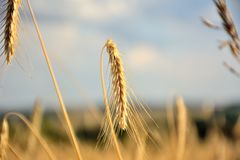 Wheat ears close-up view stock images