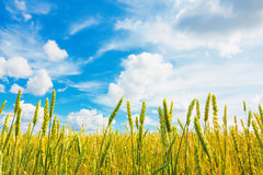 Wheat ears and cloudy sky Stock Image