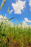 Wheat ears and cloudy sky Royalty Free Stock Photography