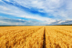 Wheat ears and cloudy sky Stock Photography