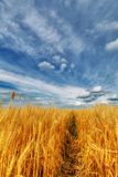 Wheat ears and cloudy sky Stock Photos