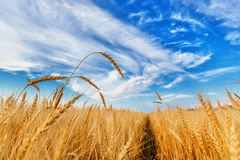 Wheat ears and cloudy sky Royalty Free Stock Photos