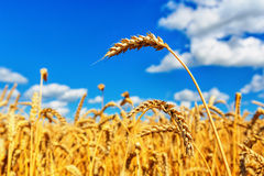 Wheat ears and cloudy sky Royalty Free Stock Image