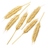 Wheat ears collection set isolated on white background 8 Royalty Free Stock Image
