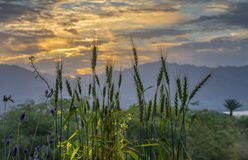 Wheat ears at colorful sunrise Stock Photos