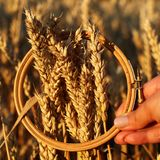 Wheat ears in the embroidery hoop. Field on sunset Harvest concept. Inspiration. stock image