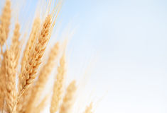 Wheat ears in the farm Stock Photo