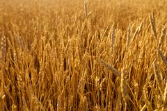 Wheat ears at the farm field, shallow depth of field. Golden ripe wheat field. Rich harvest and agricultural theme Stock Image