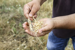 Wheat ears in farmer hands close up on field background Stock Photography