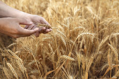 Wheat ears in farmer hands close up on field background Royalty Free Stock Photography