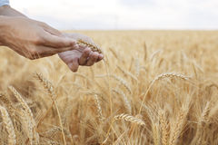 Wheat ears in farmer hands close up on field background Stock Image