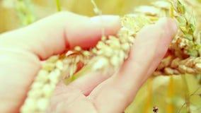 Wheat ears in farmer hands close up on field in slowmotion. 1920x1080 stock footage