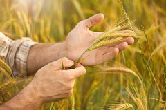 Wheat ears in farmer hands on field background Stock Photos