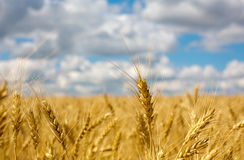 Wheat ears on field Stock Images