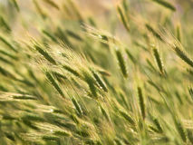 Wheat Ears in Field. Green wheat ears in field close-up back-lit Royalty Free Stock Photography