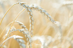 Wheat ears. On the field Stock Photography