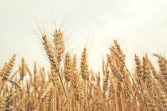 Wheat ears in the field. Royalty Free Stock Photography