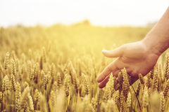 Wheat ears field. Closeup of farmer`s hand over wheat ears growing in summer. Sunset over golden crop field in countryside. Agricultural growth and farming Royalty Free Stock Photography