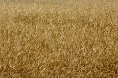 Wheat ears on the field 2005 june Royalty Free Stock Photography