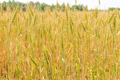 Wheat ears in the field Royalty Free Stock Photography