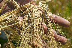 Wheat ears  on the field in sunlight.  bread. The man's hand holds wheat ears Stock Photo