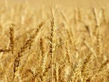 Wheat ears on field taken closeup. Royalty Free Stock Image