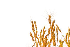 Wheat ears in the field on white background stock images