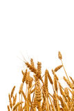 Wheat ears in the field on white background Royalty Free Stock Photos