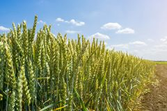 Wheat ears, full of grain, on the field, against the sky and other plants Stock Photography