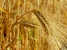 Wheat ears Royalty Free Stock Images