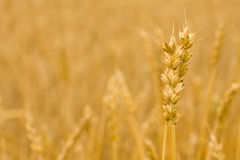 Wheat ears - Golden field Stock Photography