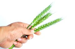 Wheat ears in hand Stock Photography
