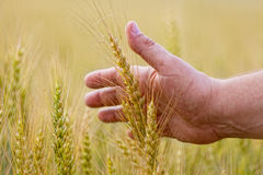 Wheat ears in the hand. Royalty Free Stock Photography