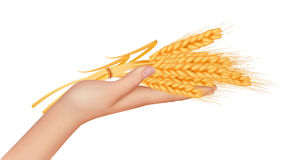 Wheat ears in the hand.Harvest concept. Stock Images