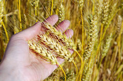 Wheat ears in hand, harvest concept Stock Photos