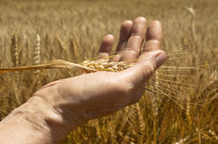 Wheat ears in the hand. Royalty Free Stock Photo