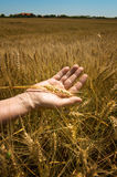 Wheat ears in the hand. Stock Images