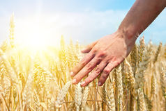 Wheat ears in the hand. Stock Image