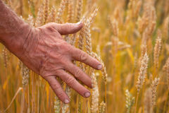 Wheat ears and hand Stock Images