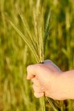 Wheat ears in the hand Stock Images