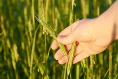 Wheat ears in the hand Royalty Free Stock Photo