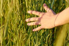 Wheat ears in the hand Stock Photography
