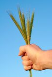 Wheat ears in the hand Stock Photos