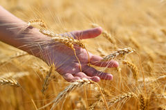 Wheat ears in hand Royalty Free Stock Images